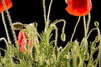 Common poppy papaver rhoeas