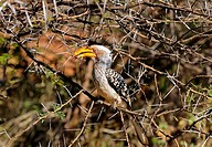 Southern Yellow-billed hornbill, Tockus leucomelas, Madikwe Game Reserve, South Africa