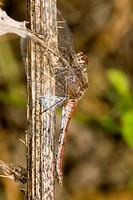 Ruddy darter Sympetrum sanguineum female