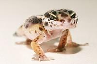 eopard gecko Eublepharis macularius