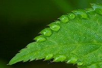 leaf with watertrops
