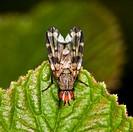 Fly order Diptera, suborder Brachycera