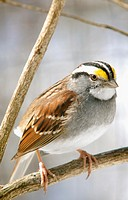 A closeup of a white-throated sparrow, zonotrichia albicollis, Pennsylvania, USA