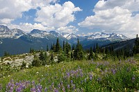 Wild flowers and the peaks of the Spearhead Range seen from Whistler Mountain Coast Mountains BC Canada