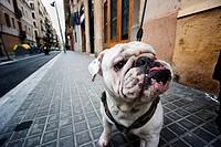 Simpático y arrugado Bulldog blanco enseñando la lengua