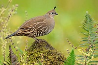 Female California Quail on mossy perch, Victoria BC, Canada