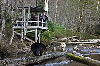 Bear watching stand in the Great Bear Rainforest of British Columbia Canada