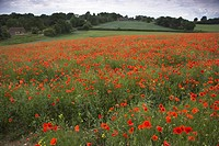 Common Poppy Papaver rhoeas and Blue Linseed Flowers North Hampshire nr Basingstoke