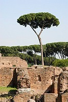 Trees on the ruins in the Palatino, Palatine, Rome The Stone Pine Pinus pinea, family Pinaceae is a species of pine native of southern Europe