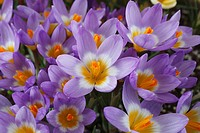 Crocus sieberi subsp sublimis ´Tricolor´, group of open crocuses