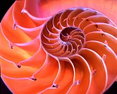Nautilus sea shell macro