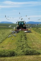 HARVESTING FARMING Tractor raking silage grass for harvesting seagulls feeding Stenness Orkney