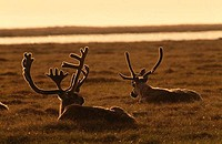Reindeers Rangifer tarandus lying on grass, Kuparuk River Delta, Prudhoe Bay, Alaska, USA