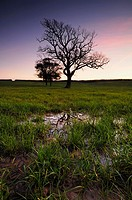 Trees in waterlogged farmland at dusk in Somerset, England