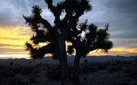 Joshua tree Yucca brevifolia on a landscape, Nevada, USA