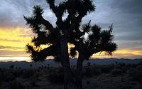 Joshua tree Yucca brevifolia on a landscape, Nevada, USA