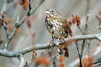 Fox sparrow Passerella iliaca in an alder tree in southwest Alaska.