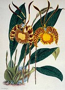 Oncidium Papilio Pictum by Samuel Jennings from Orchids: And How to Grow Them, active 1789_1834 , USA, Chicago, Newberry Library
