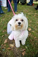 A white dog dressed like a princess in a park on a leash