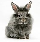 Baby silver Lionhead rabbit.