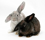 Grey windmill_eared rabbit with black windmill_eared rabbit.