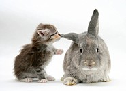 Tabby kitten with grey windmill_eared rabbit.