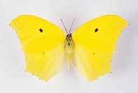 Giant Brimstone Butterfly Anteos maerula. Top view. Range: Southern U.S. to Peru.