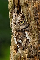 Eastern screech owl Megascops asio, Michigan. There are two color variations, one rusty, one gray, referred to as red_phase and gray_phase. The gray v...