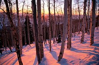 Sunset bathes a snowy aspen forest with pink light near Steamboat Springs, Colorado, USA