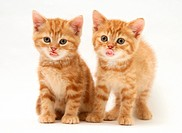British Shorthair red tabby kittens.