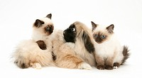 Birman_cross kittens with Pekingese pup.