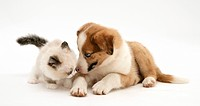 Blue_eyed red merle Border Collie puppy with Birman_cross kitten.