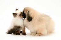 Birman_cross kitten with Pekingese pup.