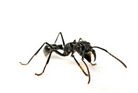 Bullet Ant Paraponera clavata, an ant with a very painful sting.
