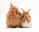 Two sandy lionhead rabbits.
