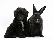 A Shetland sheepdog and poodle mix puppy with black rabbit.