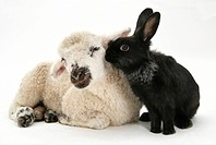 Lamb and black rabbit.