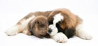 Saint Bernard puppy and brown lionhead_cross rabbit.