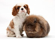 A Blenheim Cavalier King Charles spaniel puppy with a sandy lionhead rabbit.