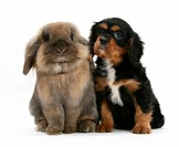 Black_and_tan Cavalier King Charles Spaniel pup and Lionhead rabbit.