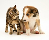 British Shorthair brown tabby kitten with Sable Border Collie pup.