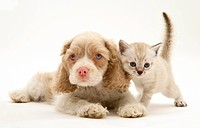 Lilac tabby_point Birman_cross kitten and lilac_and_white American Cocker Spaniel pup.