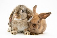 Mother and young Lop Rabbit.