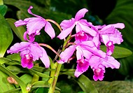 Sophronitis is a genus of orchid native to parts of South America.