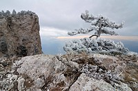 tree growing on ai_petri mountain on crimea