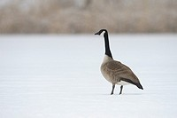 Canada goose on frozen lake, Germany