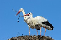 Couple of white storks on nest, Germany