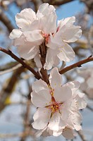 Blossoming almond tree