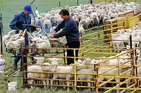 Tasmanian sheep farmers crutching and drenching lambs