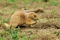 Black tailed prairie dog Cynomys ludovicianus Excavating burrow